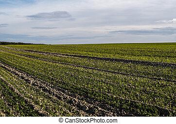 pousser, soil., fin, proces., agricole, jeune, rye., haut,...