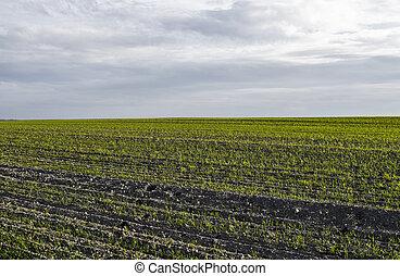 pousses, agricole, soil., rye., jour, bleu, proces., ...