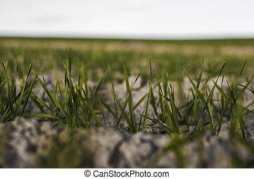 pousses, agricole, soil., rye., jour, bleu, proces.,...