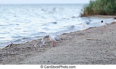 poussin, nourrit, 2, seagull-mother, elle