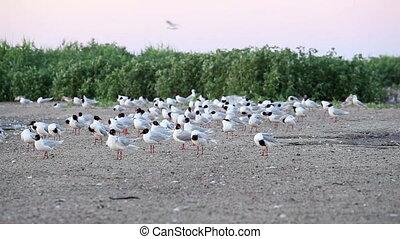 poussin, nourrit, seagull-mother, elle, 4