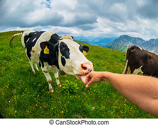 POV cow licks male hand at mountain pasture