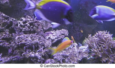 Powder Blue Tang and Lyretail Anthias in the saltwater aquarium stock footage video