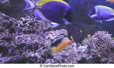 Powder Blue Tang and Lyretail Anthias in saltwater aquarium...