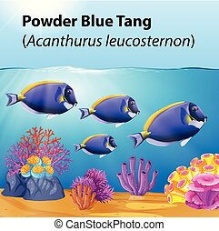 Powder blue tang fish in the ocean