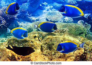 Powder blue tang in corals. Maldives. Indian ocean