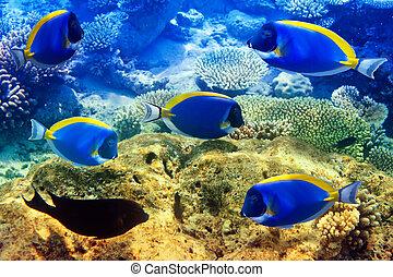 Powder blue tang in corals. Maldives. Indian ocean