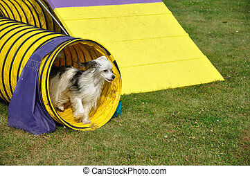 Powderpuff Chinese Crested Dog Leaving Yellow Agility Tunnel