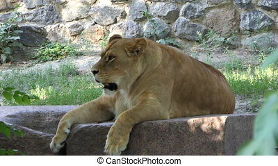 Powerful Female Lion Lies With The Open Mouth And Relaxes