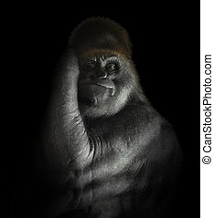 A powerful endangered gorilla is isolated on a black background and looking into the camera for a captivity or species concept.
