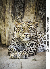 Powerful leopard resting, wildlife mammal with spot skin