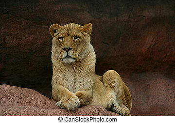 Powerful Lioness - A large lioness sitting peacefully on a...