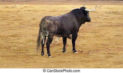Powerful spanish bull, bullfight ar
