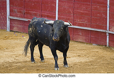 powerful Spanish bull in a bullfight