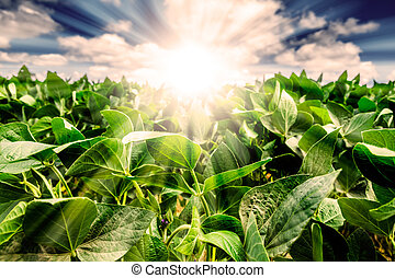 Powerful Sunrise behind closeup of soybean plant leaves. ...