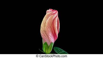powolny, kwiaty, kwiat, tło, chińczyk, różowy, ruch, makro, ...
