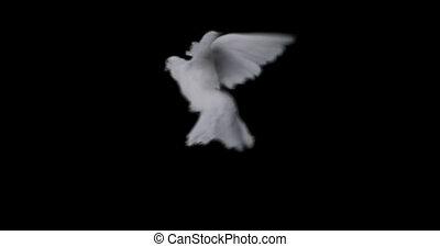 powolny, przelotny, pokój, ruch, tło, biała gołębica, przeźroczysty