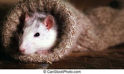 poza, zerka, szczur, wełniana skarpetka, grey-and-white, ...