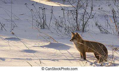 pozemek, liška, zima, červeň, sněžný