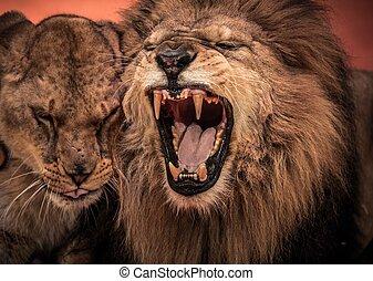 prächtig, brüllender löwe, und, löwin, auf, zirkus, arena