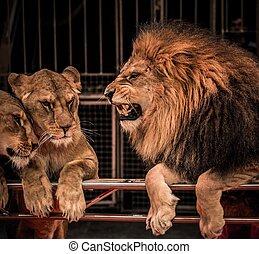 prächtig, brüllender löwe, und, zwei, löwin, auf, zirkus,...