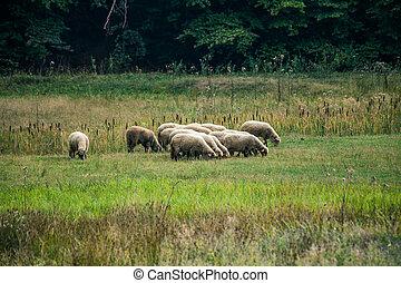 pré moutons, bois, petit, troupeau, pâturage