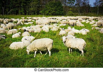 pré moutons, nature