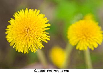 pré, pissenlit, jaune, doux, arrière-plan vert, herbe