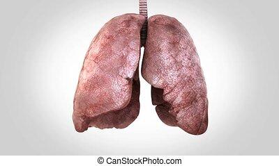 prêt, breathing., alpha-channel, boucle, poumons