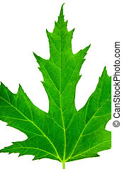 pròxima, folha verde, de, maple, isolado