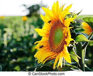 pracovní skupina, květ, slunečnice