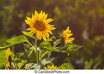 pracovní skupina, mladický list, slunečnice