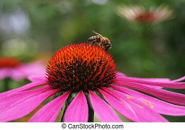 pracujący, pszczoła, na, kwiat