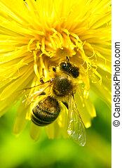 pracujący, pszczoła, na, przedimek określony przed rzeczownikami, mniszek lekarski, kwiat