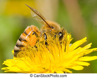 pracujący, pszczoła