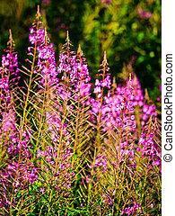pradera, flowers., wildflower, primer plano, bosque, violeta