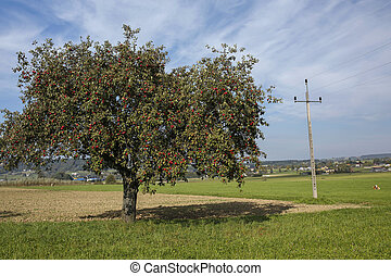 pradera, manzana, árboles, landscape:, vacas, rural