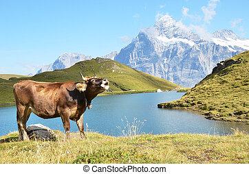 pradera, vaca,  región,  Jungfrau, suiza, alpino