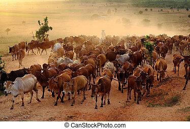 pradera, vaquero, manada, vietnam, vacas, ganado