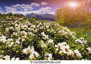 praderas alpinas, en, el, cáucaso, montañas.