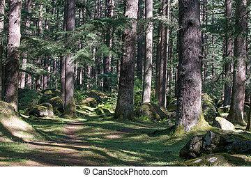 pradesh, inde, himachal, manali, forêt, pin, beau