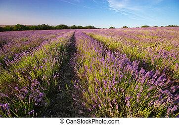 prado, de, lavender.