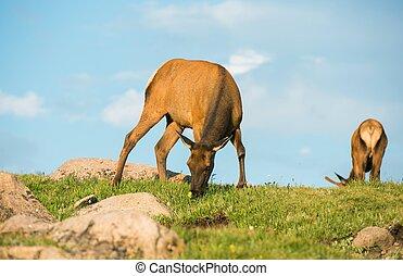 prado, deers, mula