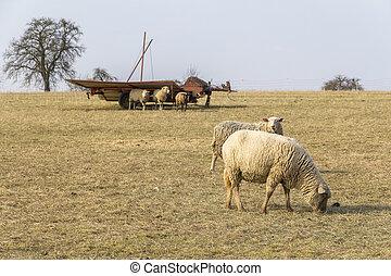 prado ovelha
