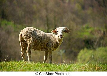 prado ovelha, só