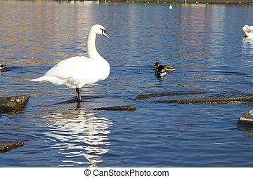 Prague white swans on the Vltava river
