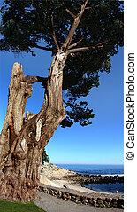 praia, árvore velha