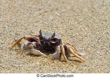 praia, carangueijo