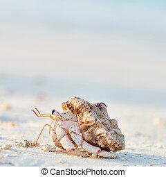praia, carangueijo, hermit