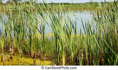 prairie, étang, idyllique, vert
